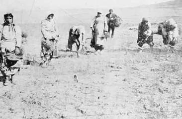 Vaspurakan Armenian women picking chickpea