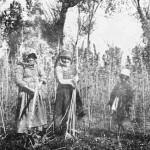 Hemp harvest near Nareg village