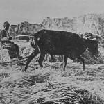 The wheat harvest - Van