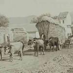 Wheat carrying in East Armenia - 1898